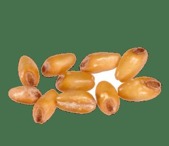 le grain de blé tendre aplati
